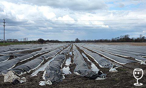 Chřestová pole